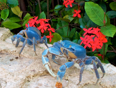 The exciting night of the Blue Crab