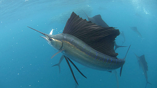 Sailfish in marine Solo Buceo