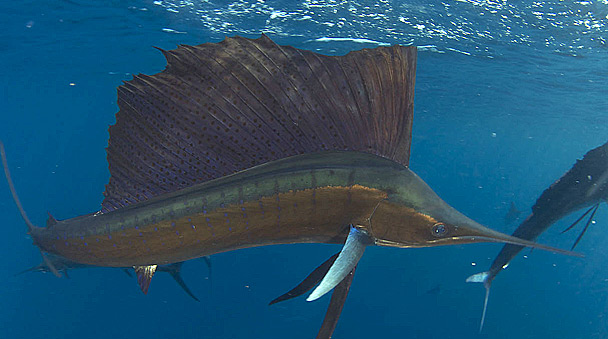 Sailfish tour Isla Contoy