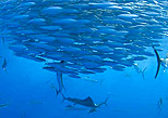 Migration of fish in the caribbean