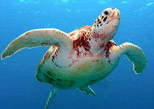 Akumal significa lugar de las tortugas