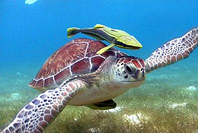 Akumal y ver tortugas en el snorkel