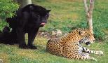 Jaguar Island