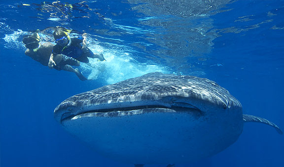 Whale Shark Dive tour