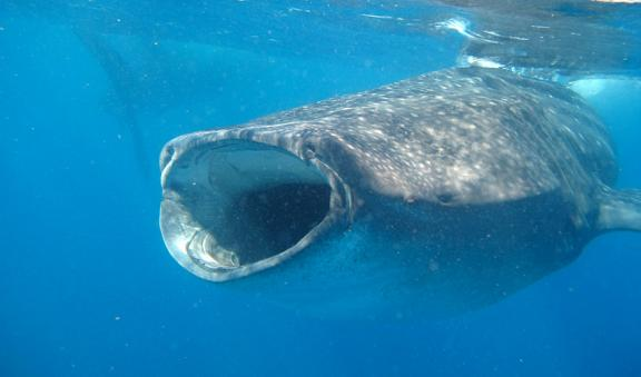Dare to swim next to whale shark