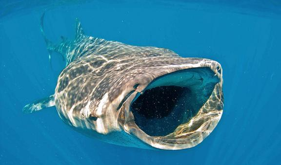 Whale Shark favorite meal is plankton